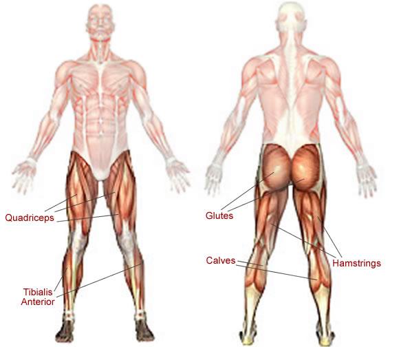 legmuscles.jpg