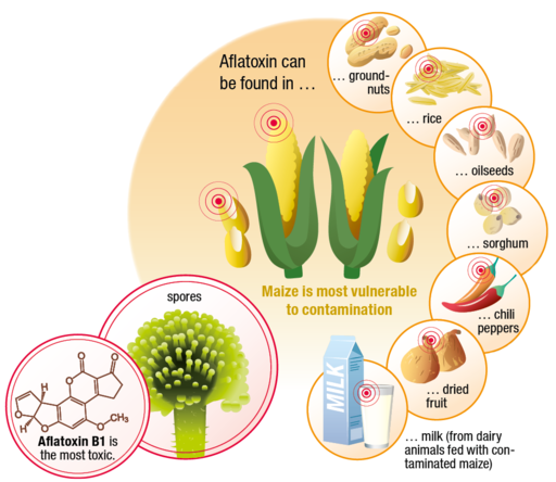 csm_Aflatoxin_Infographic_final_364456bdb9