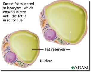 fat_cells306x245s.jpg